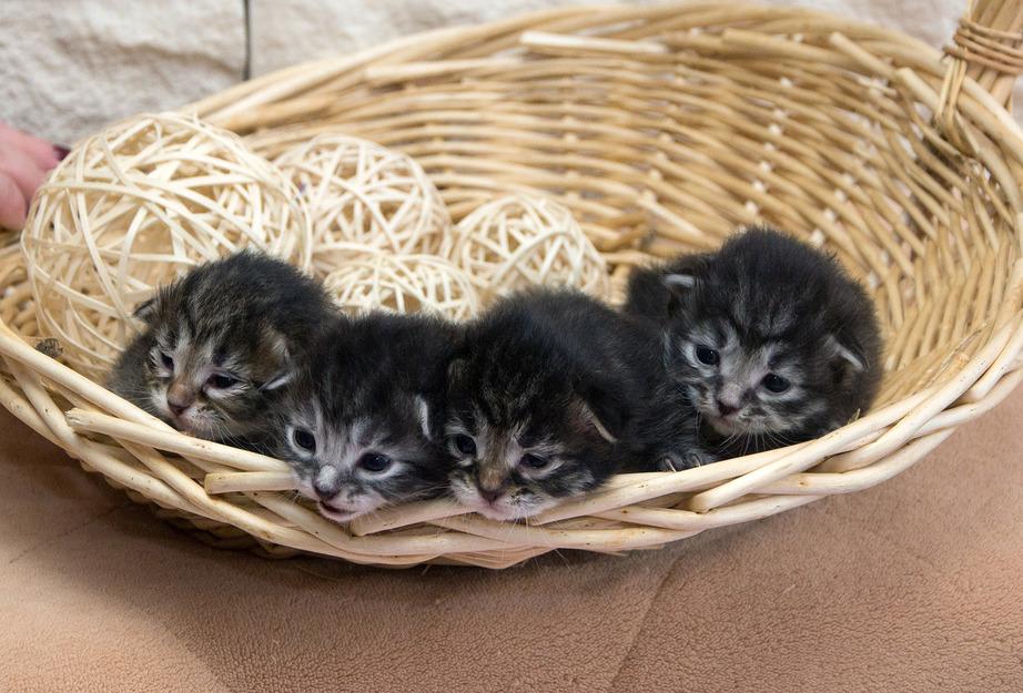 Отличная возможность приобрести котенка сибирской породы!